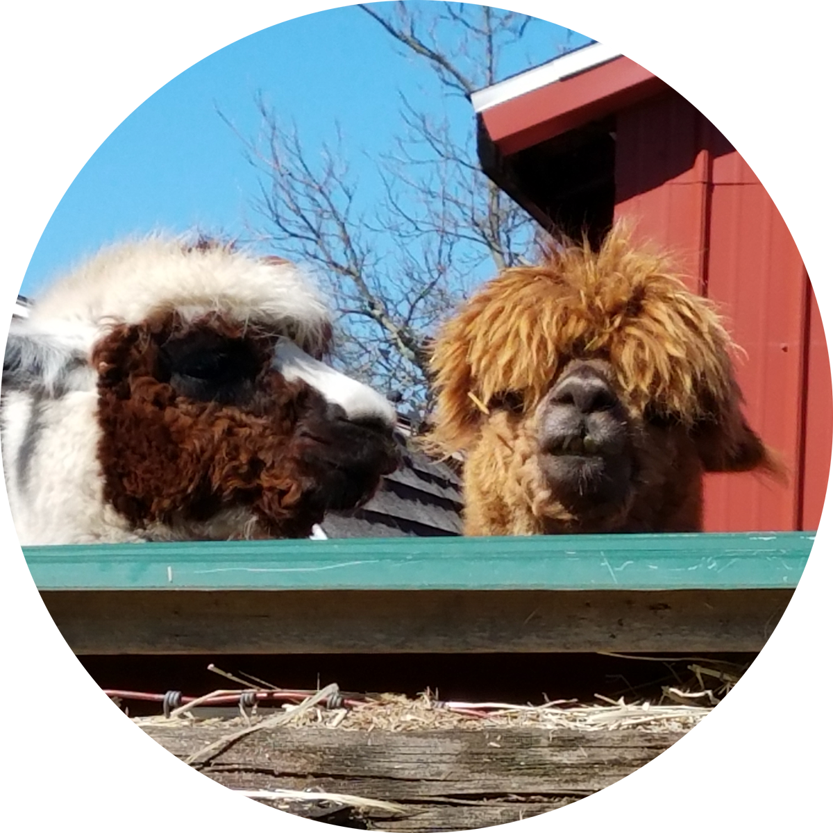 Cunfer Veterinary Services- Alpacas