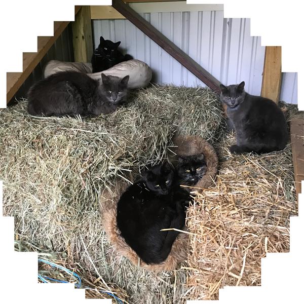 Cunfer Veterinary Services - Livestock Vet Barn Cats