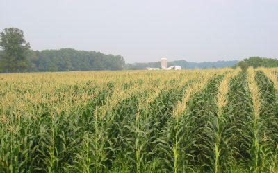 Livestock-Focused Corn